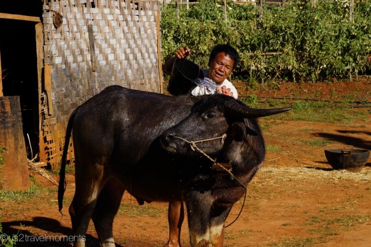 Man washing his Water Buffalo