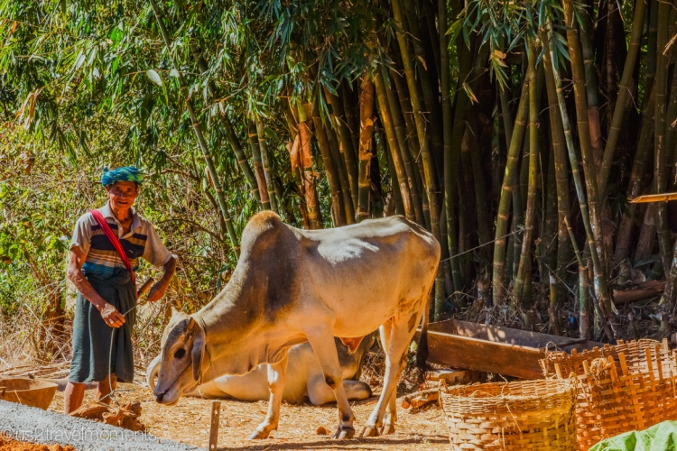 Man with his cow in Pinnwe village. PaO tribe