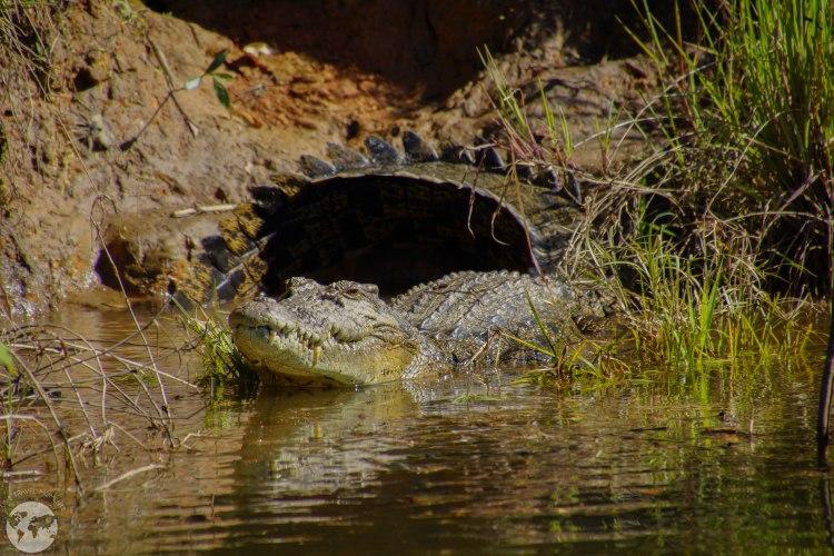 Croc Daintree
